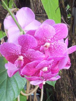 タイ花(1200)665.jpg